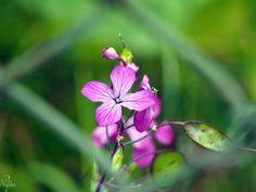 Miesiącznica (Lunaria L.)