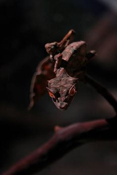 Satanic Leaf-Tailed Gecko Maybe dragons are real, but do not come in the sizes or shapes the we dream of. Beautiful Creatures, Animals Beautiful, Cute Animals, Satanic Leaf Tailed Gecko, Chameleon Lizard, Colorful Snakes, Crested Gecko, Dinosaur Toys, Vertebrates