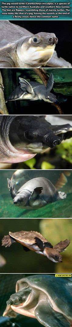 And now you know the Pig-nosed turtle exists…@Eris Maximilian   I do believe I need to get you one for your birthday.
