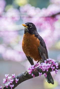 American Robin in the spring, Chicago Botanic Garden Pretty Birds, Love Birds, Beautiful Birds, Animals Beautiful, Cute Animals, Pretty Flowers, Purple Flowers, American Robin, Photo Animaliere