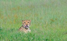 Gepard in den Weiten der Grassavanne von Botswana. Panther, Safari, Fox, Animals, Wilderness, Round Trip, Viajes, Animales, Animaux