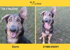 Storm at Dogs Trust Newbury likes lots of attention. She is very lively, a busy bee that needs to continue with her training programme as she missed out on some of her socialisation.
