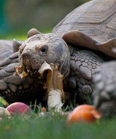 La alimentación de las tortugas de tierra