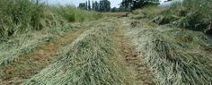 tall wheatgrass as energy crop has been extensively demonstrated in northern Europe. We help companies establishing biomass projects.