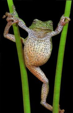 Frog Mantra by Charwei Tsai - Stretching, are we today?