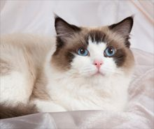 Best family cats: ragdoll, birman