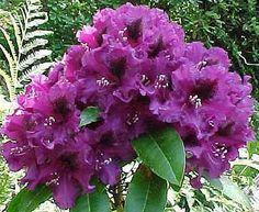 Purple Splendour Rhododendron