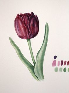 Estudio de un tulipán. Tulip Study. Watercolour on Saunders Waterford paper. Geraldine MacKinnon - Mi Naturalismo www.gmackinnon.com Botanical Art, Watercolour, Collage, Study, Illustrations, Paper, Plants, Ideas, Tulips