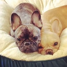 french bulldog buddies