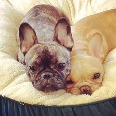 french bulldog buddies