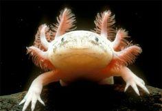 imagen de Ajolote (Ambystoma mexicanum) Animales en Extincion