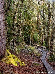 Forest walk in Overland track, Tasmania, Day4 | Flickr - Photo Sharing!