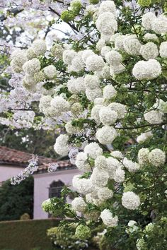 Chinese snowball! blooms in late spring and gets big - 12 to 20 feet tall and wide. looks like a hydrangea, but is actually a viburnum.
