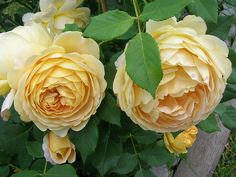 'Golden Celebration' David Austin rose | by mamietherese1