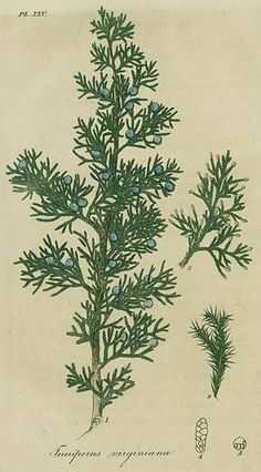 Juniperus virginiana (Common name(s): Cedarwood, Virginia Cedar)