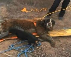 A littledachshund's persistence is being hailed in the rescue of his 180-pound buddy, Jazzy. After following Razor the weiner dog, who would not stop making a ruckus, Belen, New Mexico firefighters and police officers were called to the rescue to save Tim Chavez's St. Bernard. The gentle giant was believed