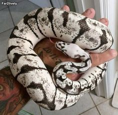 This is a Bumblebee Ball Python morph that the owner says that after several sheds, lost all its color. Everyone hopes it's genetic.