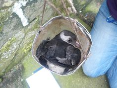 Confused pufflings are caught, ringed, measured and weighed.  They are then released safely at night.