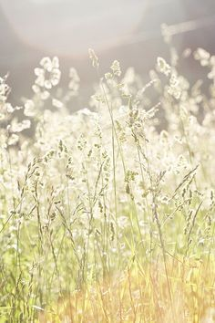 A field of tall grasses in the sunlight