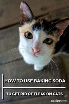 Kill fleas on your cat the natural way by using baking soda. Kill fleas on your cat the natural way Fleas On Kittens, Cat Fleas, Cats And Kittens, My Cat Has Fleas, Siamese Cats, Natural Flea Remedies, Home Remedies For Fleas, Cat Flea Remedy, Flea Treatment For Kittens