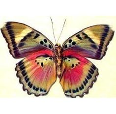 Colorful African Real Conservation Butterfly by REALBUTTERFLYGIFTS