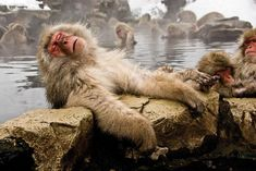 Monkey in Japan's onsen :-) me luv my hot tubby. Jigokudani Monkey Park, Animals And Pets, Cute Animals, Japanese Macaque, Japanese Hot Springs, Cultural Experience, Primates, Mammals, Reptiles