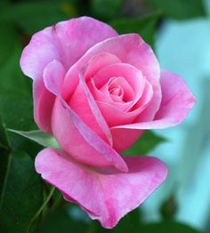 Beautiful Flowers Garden, Amazing Flowers, Beautiful Roses, Beautiful Gardens, Purple Roses, Pink Flowers, Rose Reference, Hybrid Tea Roses, Pretty Roses