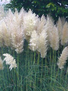 Extrem winterhartes Gras, Sichtschutz, Cortaderia selloana 'Sunningdale Silver' / Hohes Garten-Pampasgras 'Sunningdale Silver'