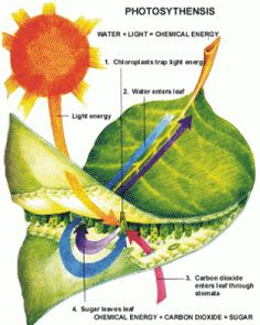 Teaching Biology- Photosynthesis - Lessons on Photosynthesis and Michigan Glacial History 5th Grade Science, Science Biology, Teaching Biology, Middle School Science, Elementary Science, Science Classroom, Science Lessons, Science Education, Science For Kids