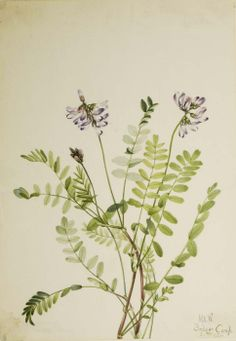 Mary Vaux Walcott, 1860-1940. Alpine Milkvetch (Astragalus alpinus), 1921, watercolor on paper, 10 x 7 in. (25.5 x 17.7 cm). Smithsonian American Art Museum.