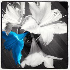 Waar een wil is...is een Amaryllis #bloem