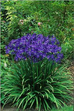 Agapanthus 'Lilliput'. Summer flower perennial blue August
