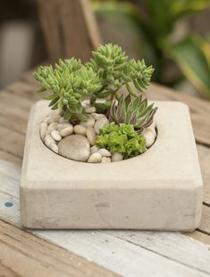 Concrete Crassula Jungle is part of Container gardening - Tranquility made easy with this lush succulent jungle, a blend of geometry and cool corners A great contrast for your home or office succulent mix may vary Succulent Gardening, Container Gardening Vegetables, Hydroponic Gardening, Cacti And Succulents, Hydroponics, Planting Succulents, Organic Gardening, Gardening Hacks, Indoor Gardening