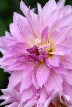 Dahlia   Flickr - Photo Sharing!