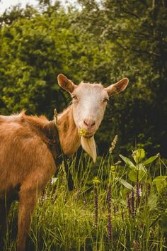 Brown goat in Vojvodina, Pancevo, Serbia Animals Images, Hd Photos, Best Funny Pictures, Mammals, Goats, Cow, Wildlife, Cosplay, Manga
