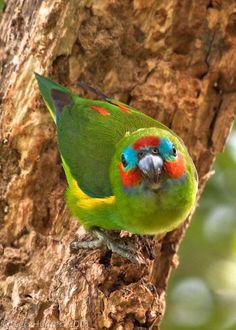 5245_Double-Eyed_Fig_Parrot.jpg (1385×1939)