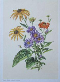 GOLDSTURM SONNENHUT BERGASTER SONNENBRAUT Gabriele Goßner Farbdruck antik print