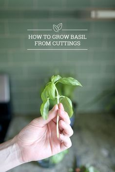 How to Grow Basil from Cuttings - Turn one plant into a garden of ten or more for free and have a ton of fresh basil or herbs all season long with this easy tutorial! #gardening