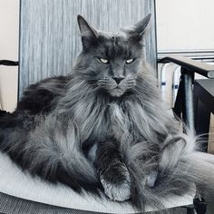 Maine Coon Cats Kitten Click the photo for more adorable cat videos Pretty Cats, Beautiful Cats, Animals Beautiful, Maine Coon Kittens, Cats And Kittens, Cute Baby Animals, Animals And Pets, Funny Animals, Photo Chat