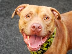 DANNY - A1044064 - - Manhattan  TO BE DESTROYED 08/02/15  A volunteer writes: Four-year-old Danny (or as I like to call him, Mr Kisses) is really a puppy in disguise and just like a puppy he loves to be close to his people, loves running around, loves meeting other dogs, loves taking a walk…well, you get the picture, Danny simply LOVES! Whether hopping up beside me on the bench or sitting to wait for a snack, his tail is stuck in permanent wag mode and every photo sho
