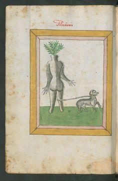 Mandragora, 1462, Johannes Hartlieb, Kräuterbuch, Berlin State Library - Prussian Cultural Heritage Foundation, p.220 (Alraunen)