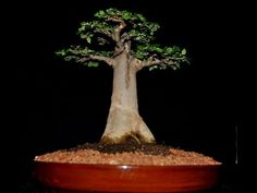 Baobab is a low maintenance tree and regarded as world's largest succulent. It can also be grown in pot, baobab bonsai is famous and is particularly well sui. Bonsai Tree Care, Bonsai Tree Types, Indoor Bonsai Tree, Bonsai Plants, Garden Plants, Bonsai Trees, Balcony Garden, Bonsai Ficus, Plants Indoor