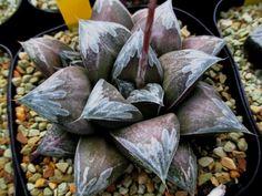 Haworthia 銀霞