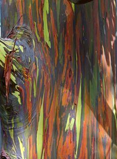 Inspire Bohemia: Eucalyptus deglupta: The Rainbow Eucalyptus Tree Rainbow Eucalyptus Tree, Tree Story, Australian Plants, Artsy Photos, Virtual Art, Photo Tree, Tree Bark, Textures Patterns, Sculpture