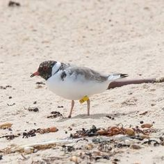 #regram @birdlife_hoodie  Check out #hoodedplover 18 Yellow! 18 Yellow fledged from Woolamai Beach on #PhillipIsland in March 2015. On the 29th October 18 was sighted all the way over in #Warrnambool! Just 5 days later in November 3rd it was seen 348km away!  How incredible are these little guys! Great job to everyone who recorded the leg flag details!  #birdwatching #savethehoodie by savethehoodie