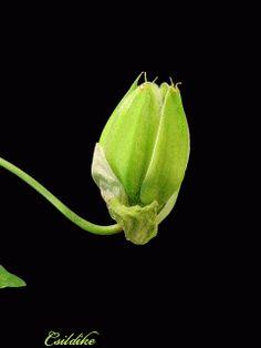Passiflora caerulea, comúnmente llamada mburucuyá, burucuyá, pasionaria, flor de la pasión, maracuyá o pasionaria azul, es una especie de trepadora nativa del sur de Sudamérica