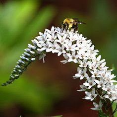 Gooseneck with a bee   The plant's common name (gooseneck) r…   Flickr