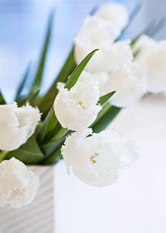 Pitsireunaiset tulppaanit ovat kuin kuuran koristelemia.