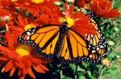 Monarchs - Royal Reds c1999 / PHOTO BY Melanie Petridis / Monarch Butterflies on red Chrysanthemums / September