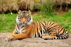 tiger laying down - Google Search